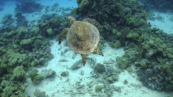 VideoHive Turtle Swimming over Coral Reef 12060686