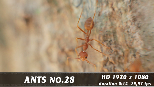 VideoHive Red Ants No.28 12062342