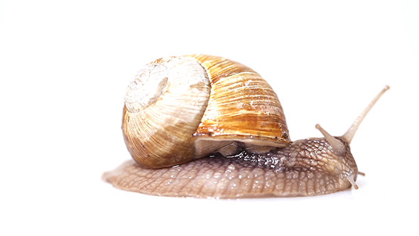 Garden Snail Crawling in Front of White Background