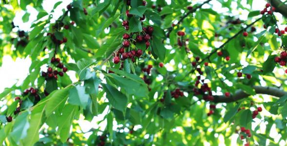 Mature Cherry