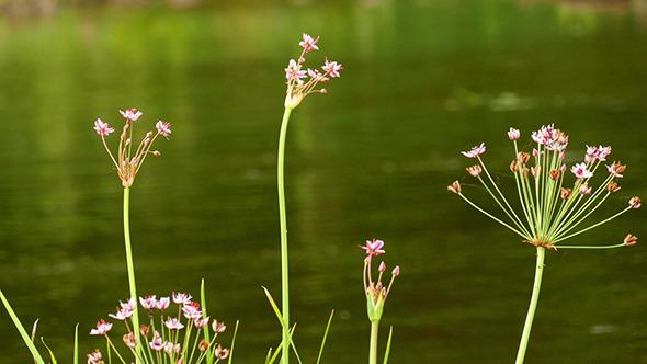 Butomus Umbellatus Flowers In Summer Day