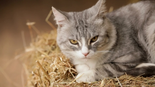 Old Gray Cat Sitting On The Hay And Sleep