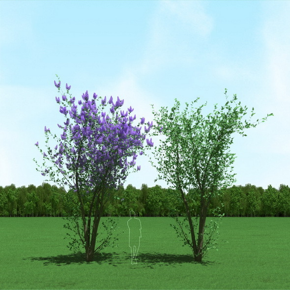 3DOcean Blooming Syringa Lilac Trees 3D Models 12088110