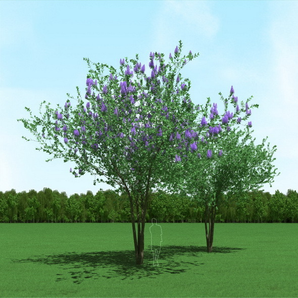 3DOcean Blooming Syringa Lilac Trees 3D Models 12088138