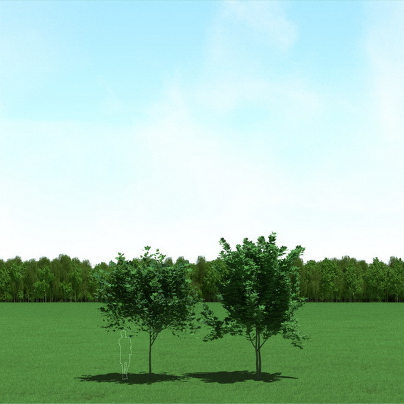 3DOcean Maple Acer Trees 3D Models 12089610
