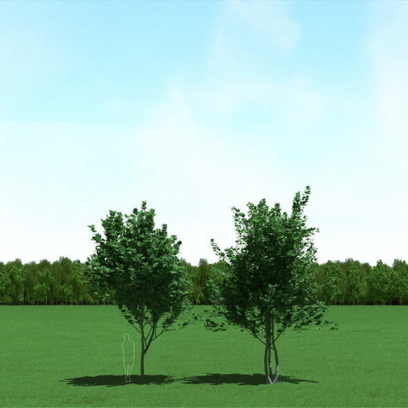 3DOcean Maple Acer Trees 3D Models 12089624