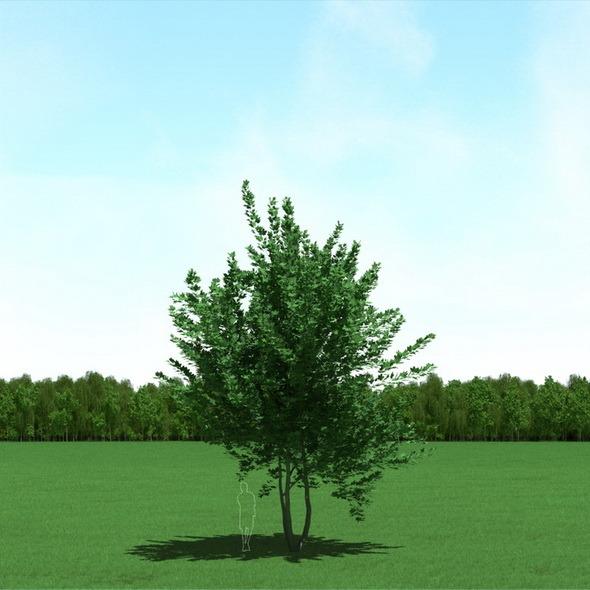 Maple (Acer) Tree 3d Model - 3DOcean Item for Sale