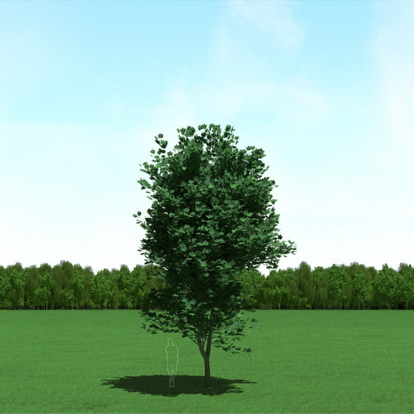 3DOcean Maple Acer Tree 3D Model 12089695