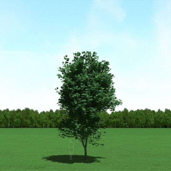 Maple Acer Tree 3D Model