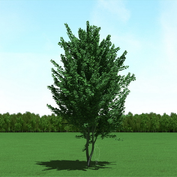 3DOcean Maple Acer Tree 3D Model 12089704