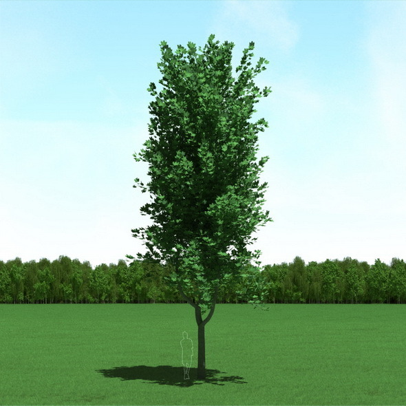Maple (Acer) Tree 3d Model - 3DOcean Item for Sale
