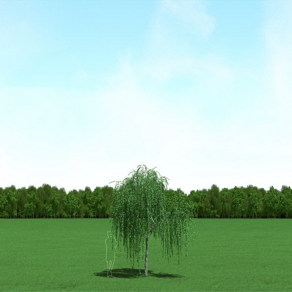 3DOcean Willow Salix Tree 3D Model 12089943