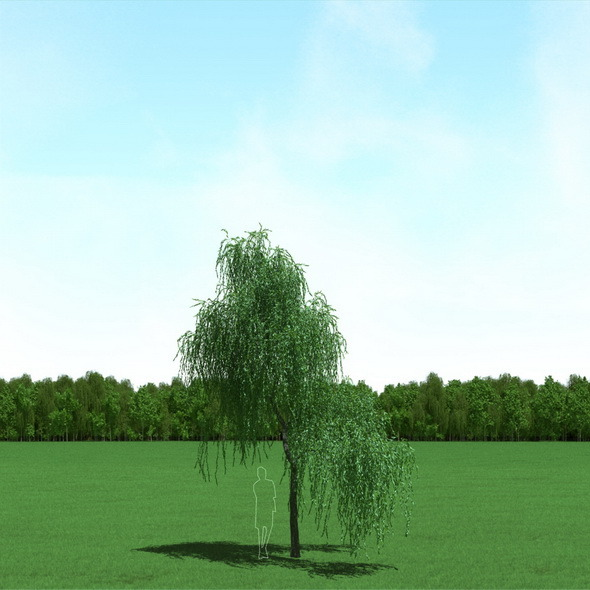 Willow (Salix) Tree 3d Model - 3DOcean Item for Sale