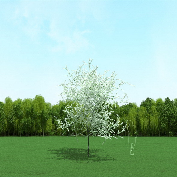 3DOcean Blooming Cherry Tree 3D Model 12090913