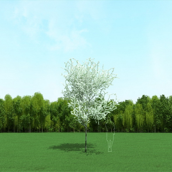 3DOcean Blooming Cherry Tree 3D Model 12090924