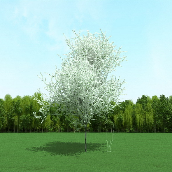 3DOcean Blooming Cherry Tree 3D Model 12090949