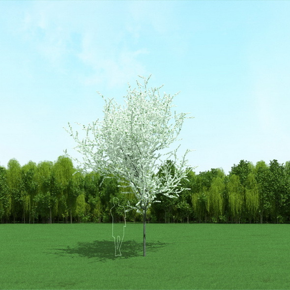 3DOcean Blooming Cherry Tree 3D Model 12090963