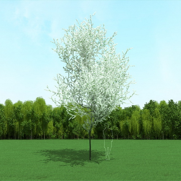 3DOcean Blooming Cherry Tree 3D Model 12091037