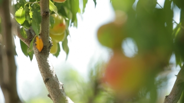The Young Peach Tree Is Still Green Fruit