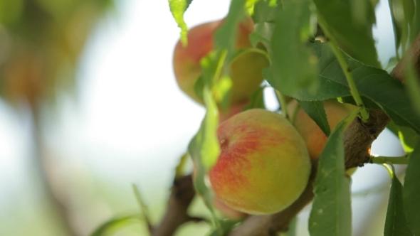 Peach Tree In Ripe Peach Fruits