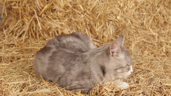 VideoHive Cat Sleeping On Hay In The Barn 12113667