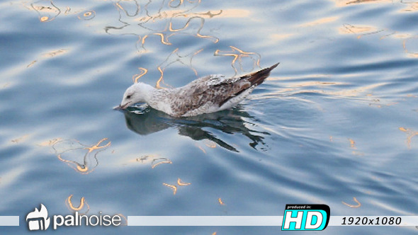 VideoHive Bird Seagull Swimming in Water 12113975