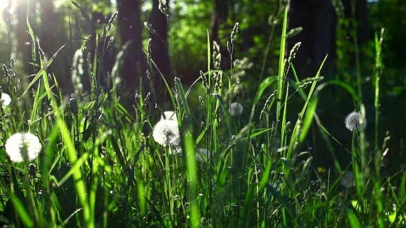 nature sunset grass dandelion - photo #28