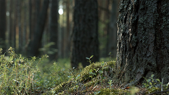 VideoHive Epic Pine Forest 12150230