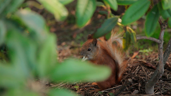 VideoHive Squirrel Eating 12154767