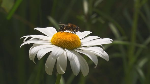 VideoHive A Fly Crawls on the Center of a Daisy and then Fl 12155198