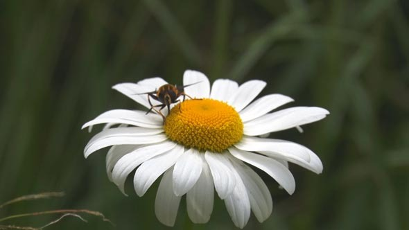 VideoHive The Insect and the Flower Daisy 12155207