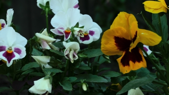 VideoHive Colourful Pansies 12156171