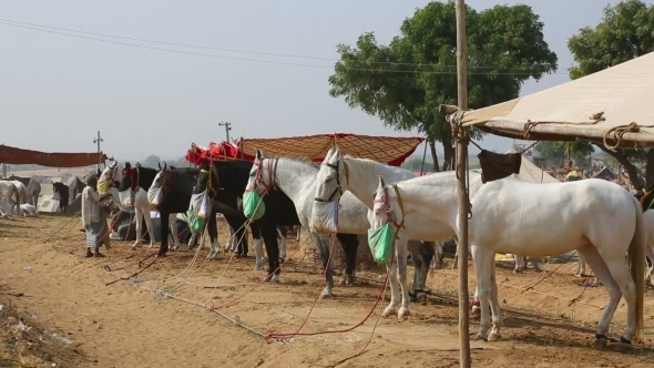 VideoHive Pushkar Camel Fair 12156210