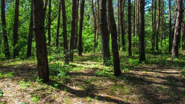 VideoHive Trees In The Coniferous Forest The Shadow Of Pine 12156996