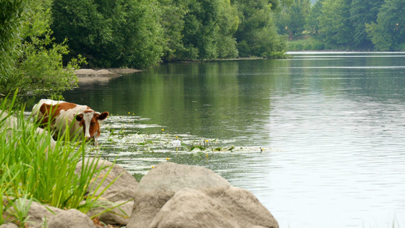 VideoHive Cows Drinking In The Water Of River 12157551
