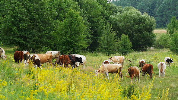 VideoHive Cows Grazing On Green Summer Meadow 12157554
