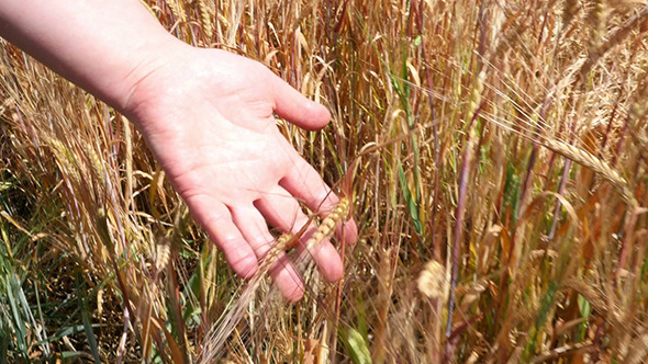 VideoHive Woman s Hand Running Through Wheat 12157782