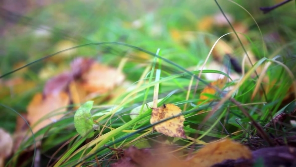 VideoHive Fallen Leaves On The Bright Green Grass Shallow 12158279