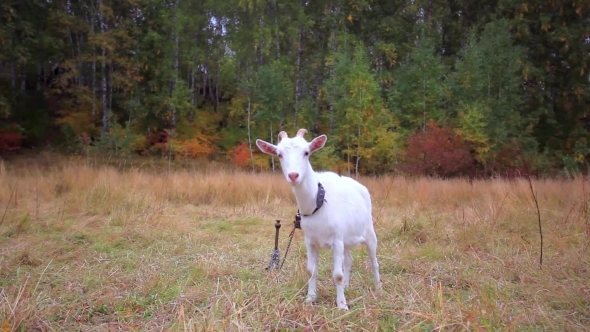 VideoHive Goat Is Grazed On a Meadow In The Fall 12158295
