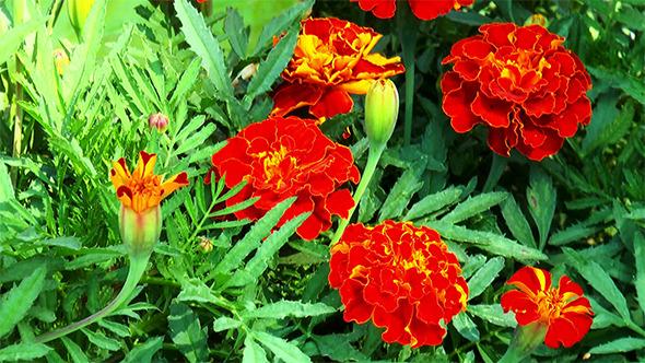 VideoHive Orange Marigolds 12158515