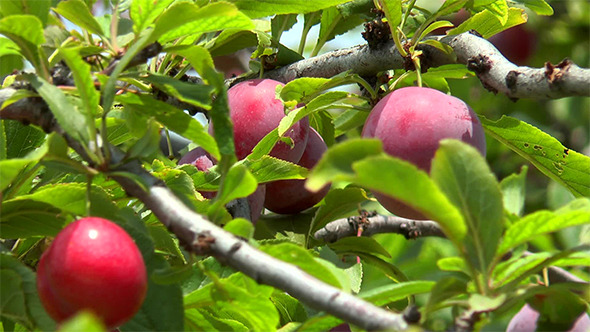 VideoHive Ripe Plums on a Branch Among Leaves 12160887