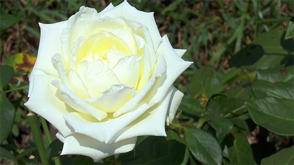 VideoHive White Rose 12160982