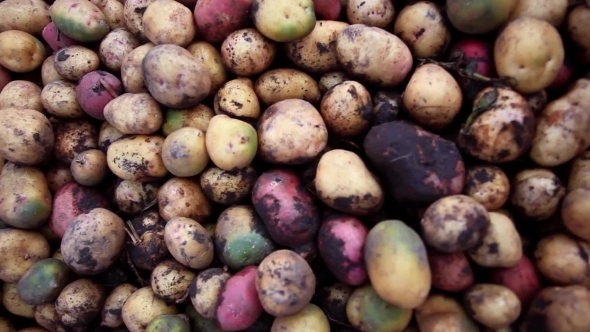 VideoHive Fresh Organic Potatoes In The Field 12162320