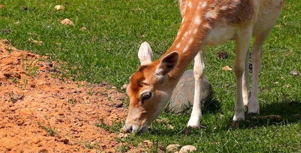 VideoHive Deer 12163601