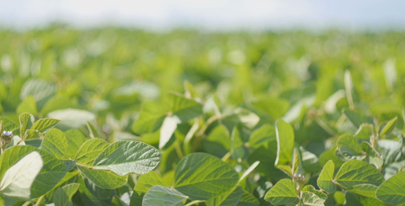 VideoHive Soybean Field 12168174