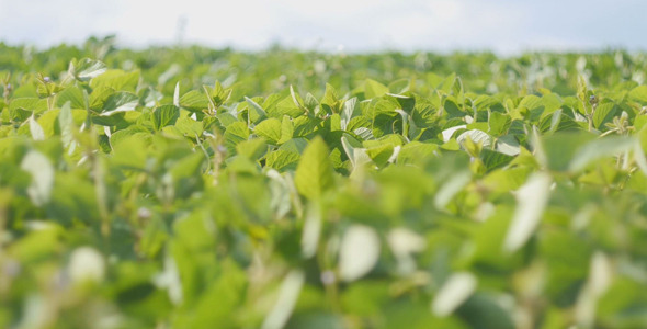 VideoHive Soybean Field 12168253