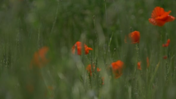 VideoHive Red Poppies Papaver Flowers Blossoms Through 12175270