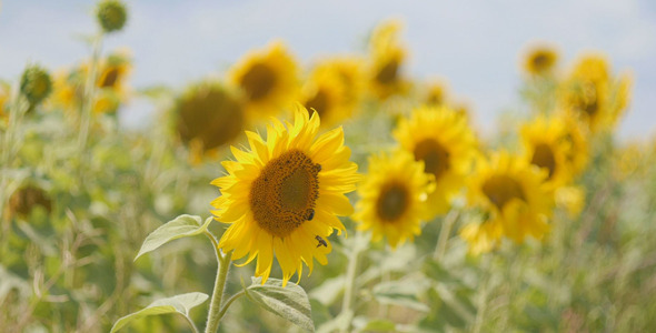 VideoHive Bees Pollinate Sunflowers 12175557