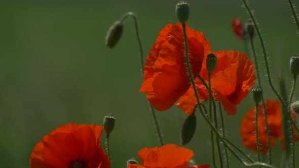 VideoHive Red Poppies Papaver Flowers Petals and Buds 12175614