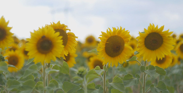 VideoHive Field of Sunflowers 12175630